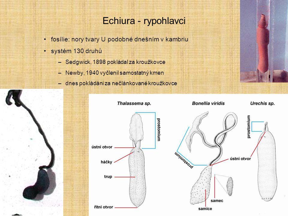 Echiura - rypohlavci fosílie: nory tvary U podobné dnešním v kambriu systém 130 druhů –Sedgwick, 1898 pokládal za kroužkovce –Newby, 1940 vyčlenil sam