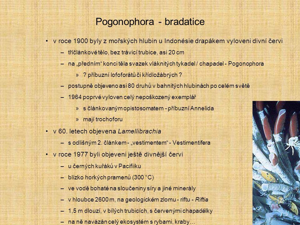 Pogonophora - bradatice v roce 1900 byly z mořských hlubin u Indonésie drapákem vyloveni divní červi –tříčlánkové tělo, bez trávicí trubice, asi 20 cm