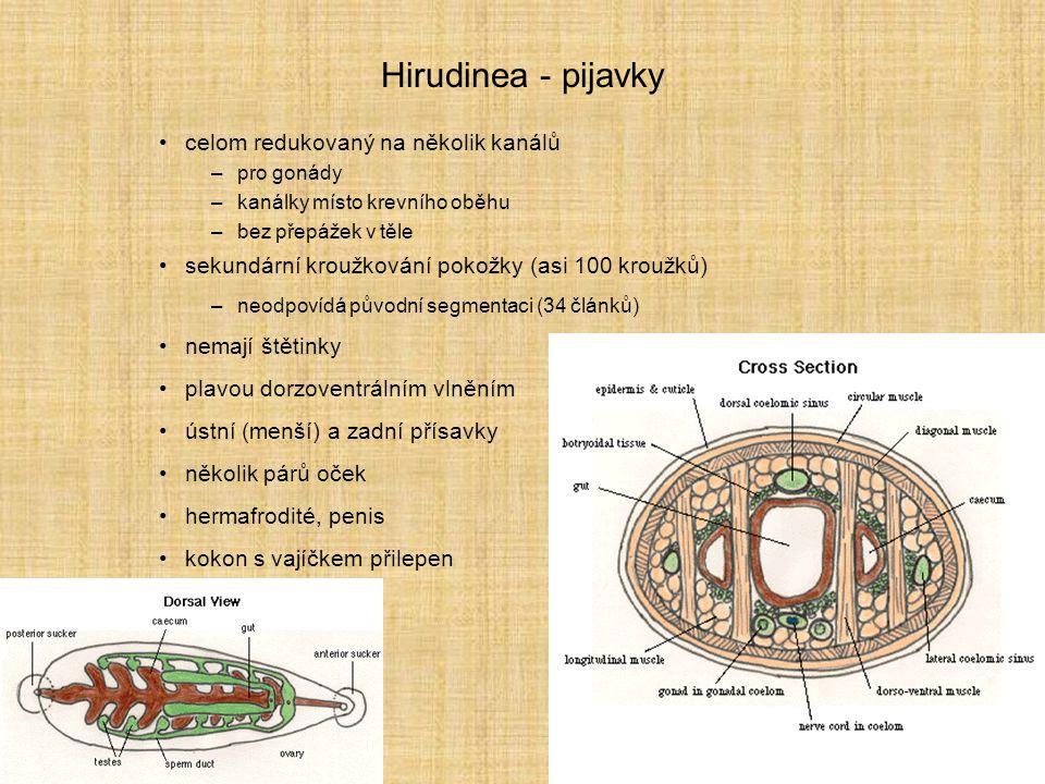 Hirudinea - pijavky celom redukovaný na několik kanálů –pro gonády –kanálky místo krevního oběhu –bez přepážek v těle sekundární kroužkování pokožky (