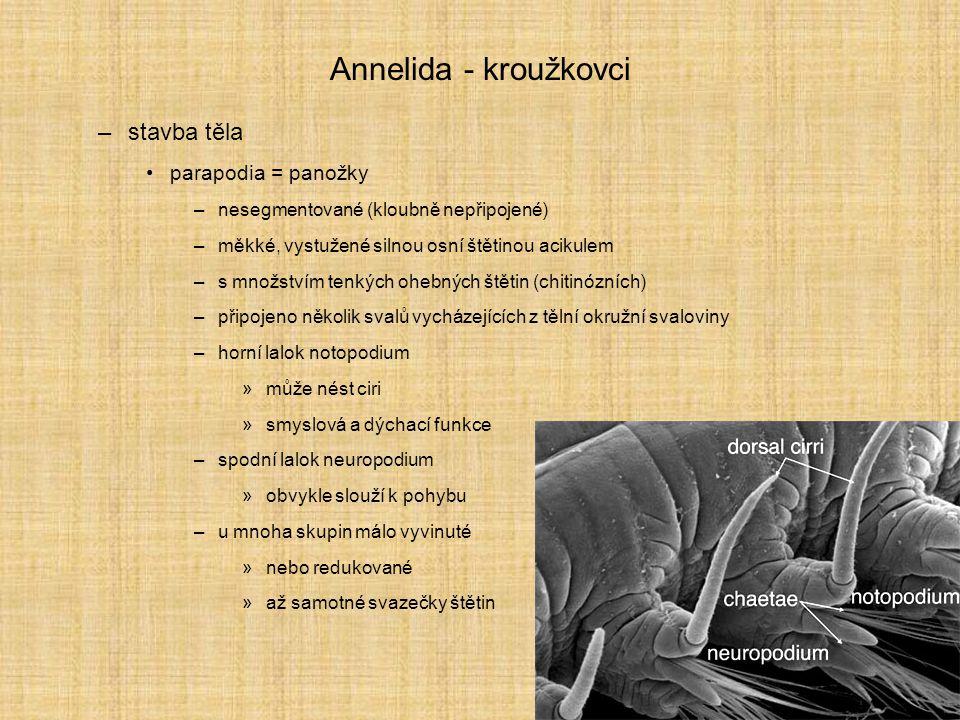 Annelida - kroužkovci –stavba těla parapodia = panožky –nesegmentované (kloubně nepřipojené) –měkké, vystužené silnou osní štětinou acikulem –s množst