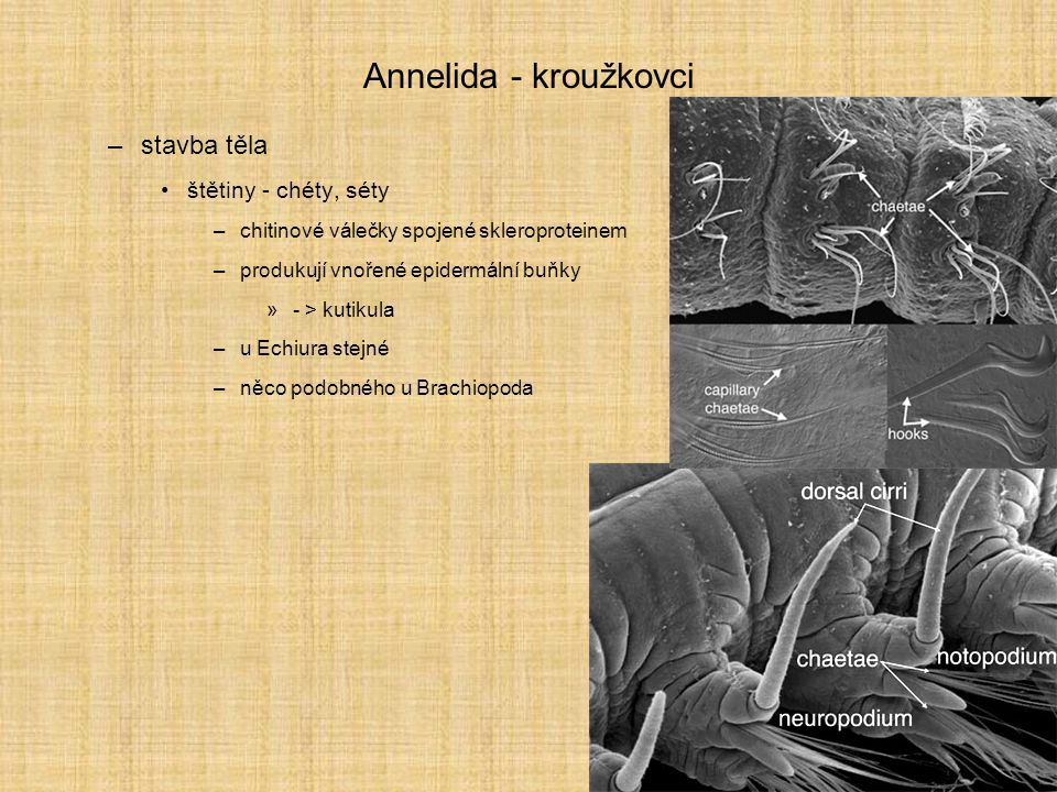 Annelida - kroužkovci –stavba těla štětiny - chéty, séty –chitinové válečky spojené skleroproteinem –produkují vnořené epidermální buňky »- > kutikula