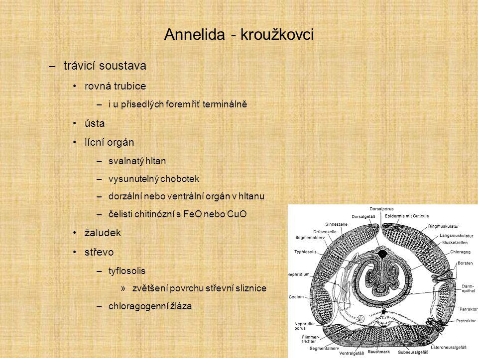 Annelida - kroužkovci –systém - 17 000 druhů Polychaeta - parapodia se spoustou štětin, cefalizace, gonochoristé Clitellata - opaskovci - zduřené články s rozmnožovací funkcí, hermafrodité –Oligochaeta - máloštětinatci - malý počet štětin, nevyvinutá hlava –Hirudinea - pijavky - konstantní počet článků, uvnitř těla ztráta přepážek, druhotné povrchové kroužkování Archiannelida –mikroskopické redukované (celom, chéty, články, panožky) formy v mořském písku, trochofora dokonalá Pogonophora - bradatice Echiura - rypohlavci Myzostomida - lilijicovci Jennaria, Lobatocerebrum http://www.biodiversity.uno.edu/~worms/annelid.html#ANNLIST