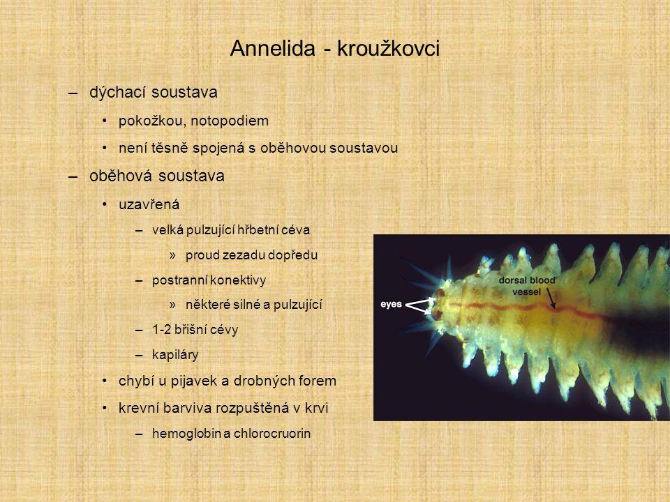 Annelida - kroužkovci –vylučovací soustava protonefridie –u larev –kombinace s celomostomem nebo metanefrídiemi se společným vývodem nefridie –pár nálevek v každém článku –splývá se segmentálním orgánem –otevřené do celomu –reabsorbční kanálek –vyústění (nefridioporus) nezávisle na stejném nebo následujícím článku některé slouží zároveň anebo namísto vylučovací funkce jako gonodukty