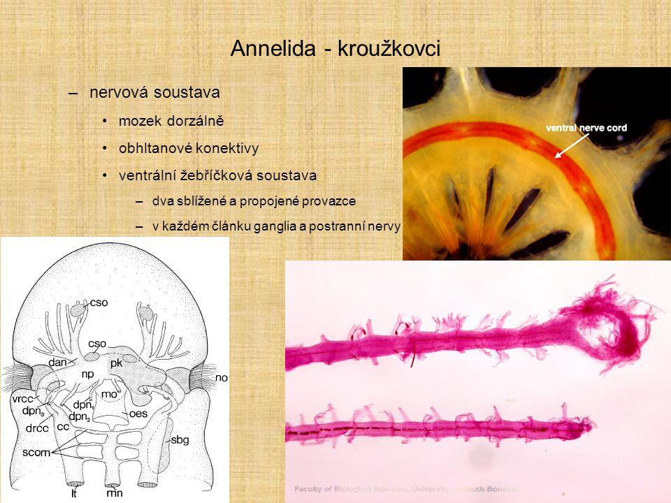Annelida - kroužkovci –smysly makadla (někdy přeměněná na filtrování potravy) tykadla oči (ploché, miskovité až i s čočkou) statocysty šíjové (nuchal [njúkl] {ňuchavé}) orgány –párové obrvené struktury –inervované zadní částí mozku laterální orgány