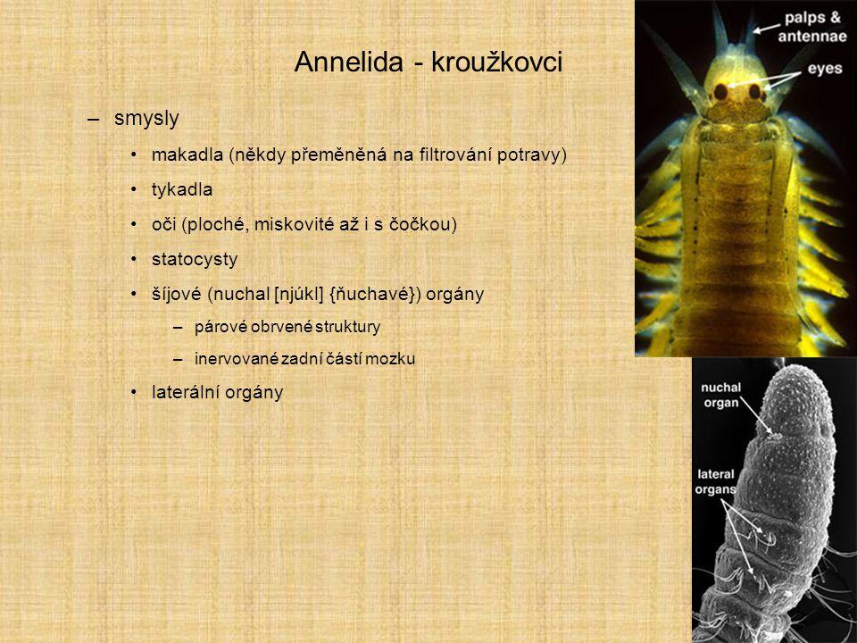 Annelida - kroužkovci –pohyb okružní svaly –vně kolem celého těla –vytvářejí hydrostatický tlak celomové tekutiny »zvlášť v každém článku »žížalovité přímé lezení podélné svaly –hlouběji ve čtyřech pruzích »vlnovitý nebo píďalovitý pohyb (pijavky ve vodě i na souši) parapodia –potrava filtrátoři detritofágové –v bahně moří i sladkých vod, v půdě predátoři