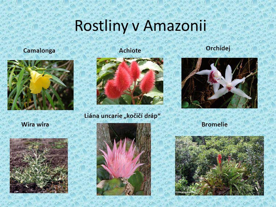 """Rostliny v Amazonii Wira wira CamalongaAchiote Liána uncarie """"kočičí dráp"""" Bromelie Orchidej"""