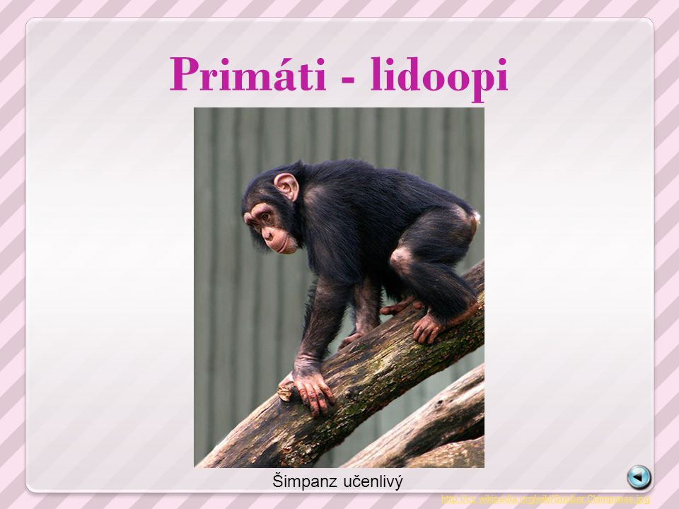 Primáti - lidoopi http://cs.wikipedia.org/wiki/Soubor:Chimpanse.jpg Šimpanz učenlivý
