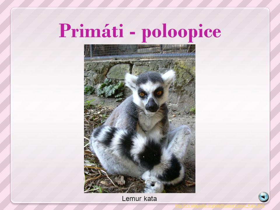 Primáti - poloopice http://cs.wikipedia.org/wiki/Soubor:Lemur_Kata.JPG Lemur kata