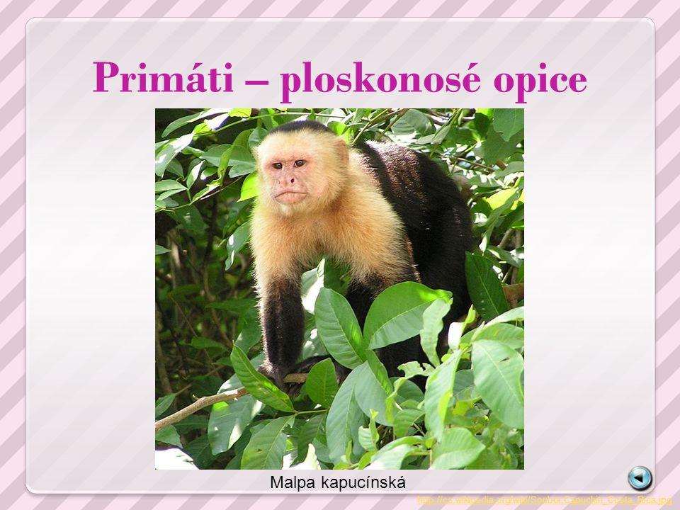 Primáti – ploskonosé opice http://cs.wikipedia.org/wiki/Soubor:Capuchin_Costa_Rica.jpg Malpa kapucínská