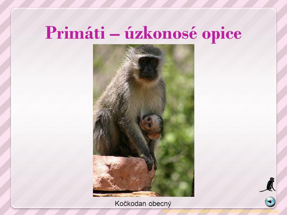 Primáti – úzkonosé opice http://cs.wikipedia.org/wiki/Soubor:Cercopithecus_aethiops00.jpg Kočkodan obecný