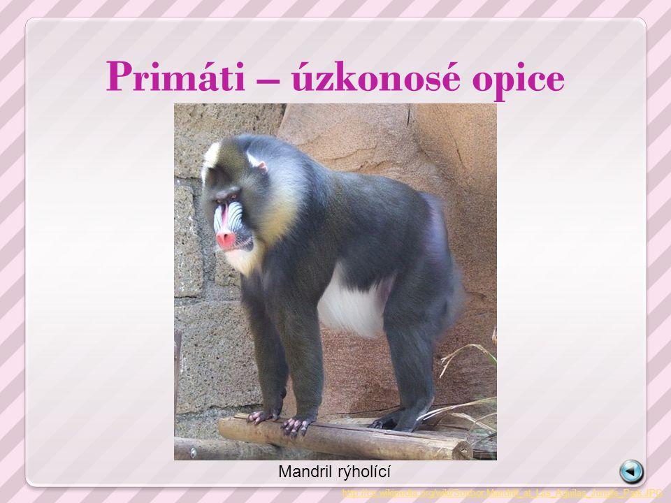 Primáti – úzkonosé opice http://cs.wikipedia.org/wiki/Soubor:Mandrill_at_Las_Aguilas_Jungle_Park.JPG Mandril rýholící