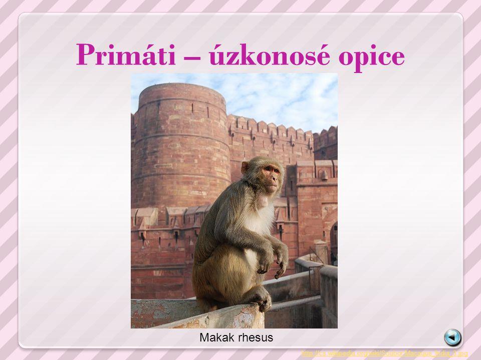 Primáti – úzkonosé opice http://cs.wikipedia.org/wiki/Soubor:Macaque_India_3.jpg Makak rhesus