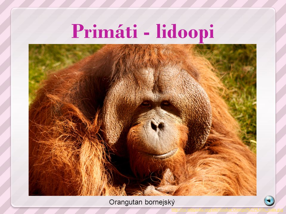 Primáti - lidoopi http://cs.wikipedia.org/wiki/Soubor:Orangut%C3%A1n_male.jpg Orangutan bornejský