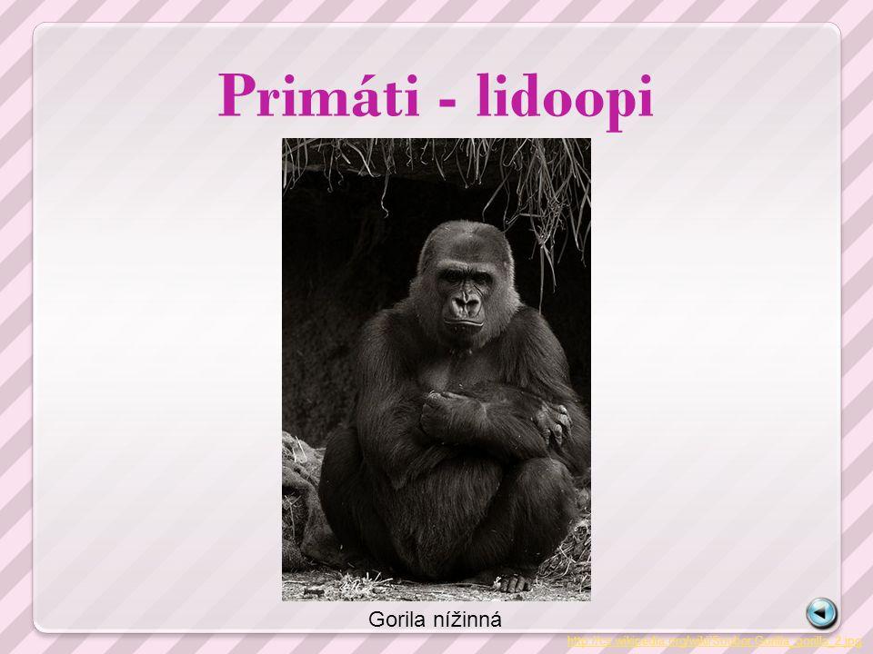 Primáti - lidoopi http://cs.wikipedia.org/wiki/Soubor:Gorilla_gorilla_2.jpg Gorila nížinná