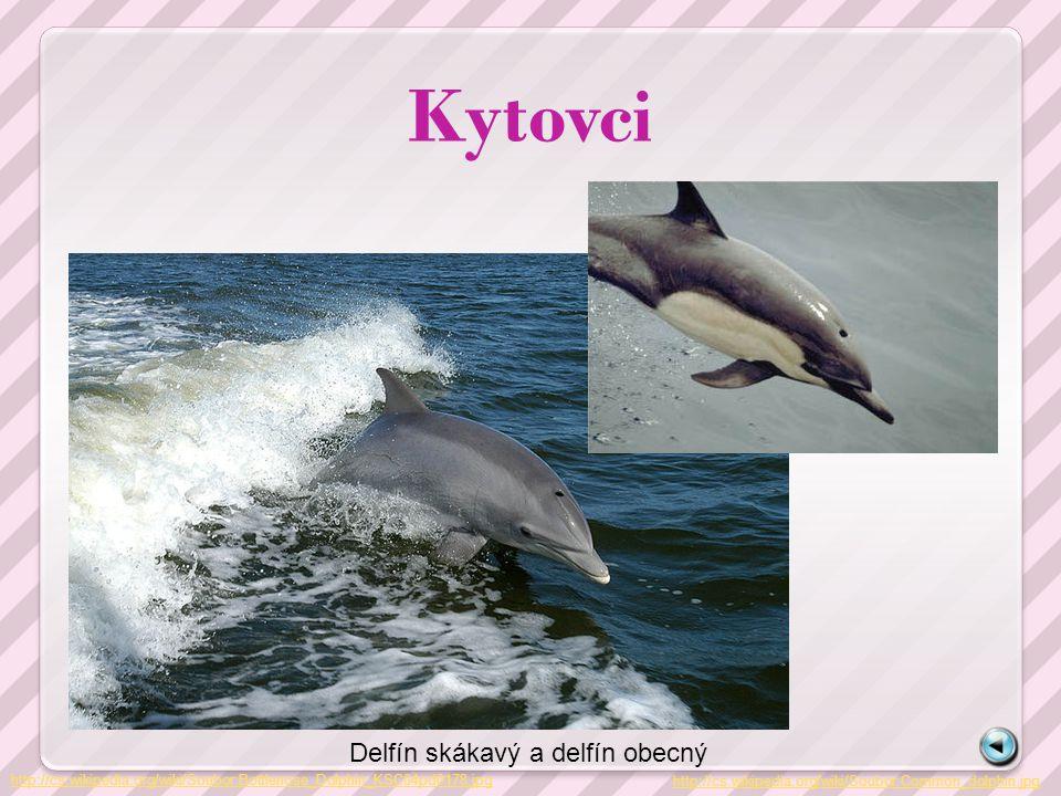 Kytovci http://cs.wikipedia.org/wiki/Soubor:Bottlenose_Dolphin_KSC04pd0178.jpg Delfín skákavý a delfín obecný http://cs.wikipedia.org/wiki/Soubor:Comm