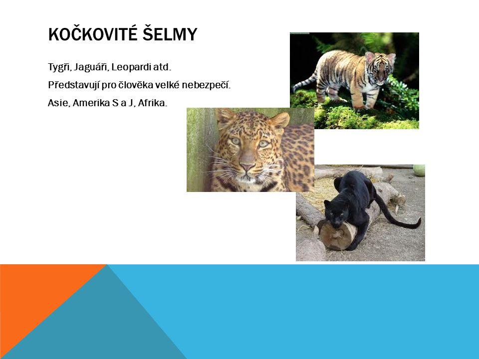 KOČKOVITÉ ŠELMY Tygři, Jaguáři, Leopardi atd. Představují pro člověka velké nebezpečí. Asie, Amerika S a J, Afrika.