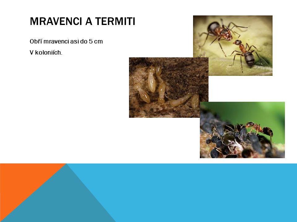 MRAVENCI A TERMITI Obří mravenci asi do 5 cm V koloniích.