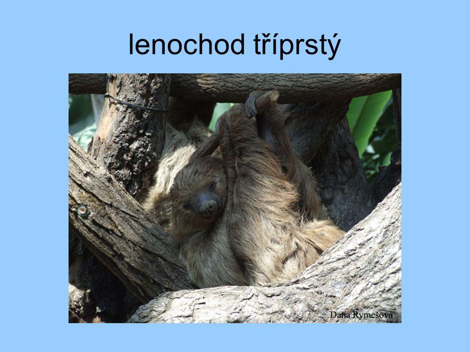 lenochod tříprstý