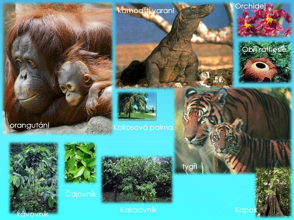 orangutáni komodští varani tygři Orchidej Obří rafflesie Kokosová palma kávovník Čajovník KakaovníkKapok