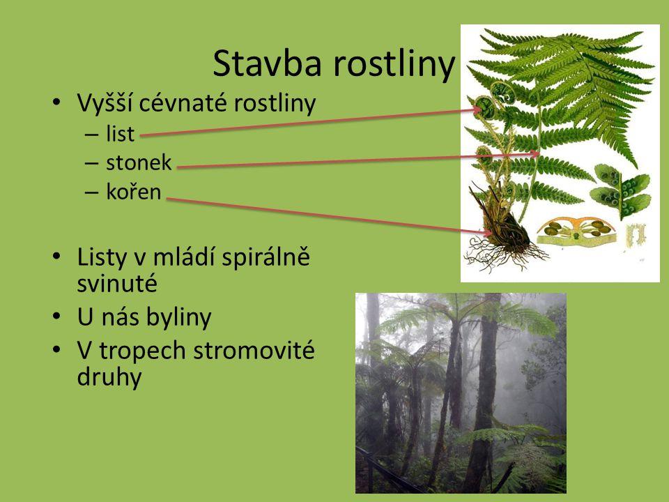 Stavba rostliny Vyšší cévnaté rostliny – list – stonek – kořen Listy v mládí spirálně svinuté U nás byliny V tropech stromovité druhy