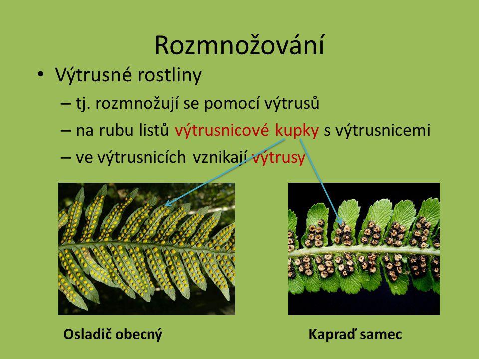 Rozmnožování Výtrusné rostliny – tj. rozmnožují se pomocí výtrusů – na rubu listů výtrusnicové kupky s výtrusnicemi – ve výtrusnicích vznikají výtrusy