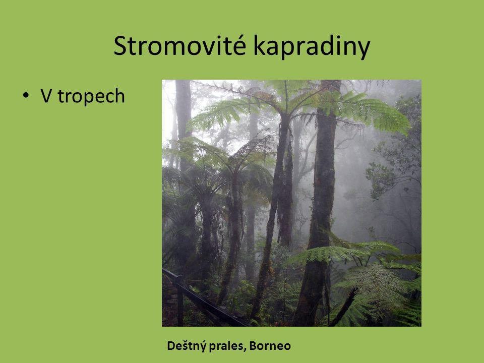 Stromovité kapradiny V tropech Deštný prales, Borneo