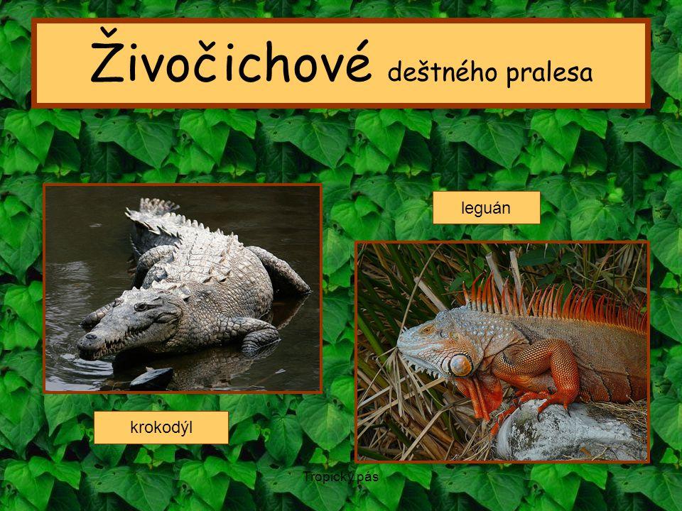Tropický pás Živočichové deštného pralesa krokodýl leguán