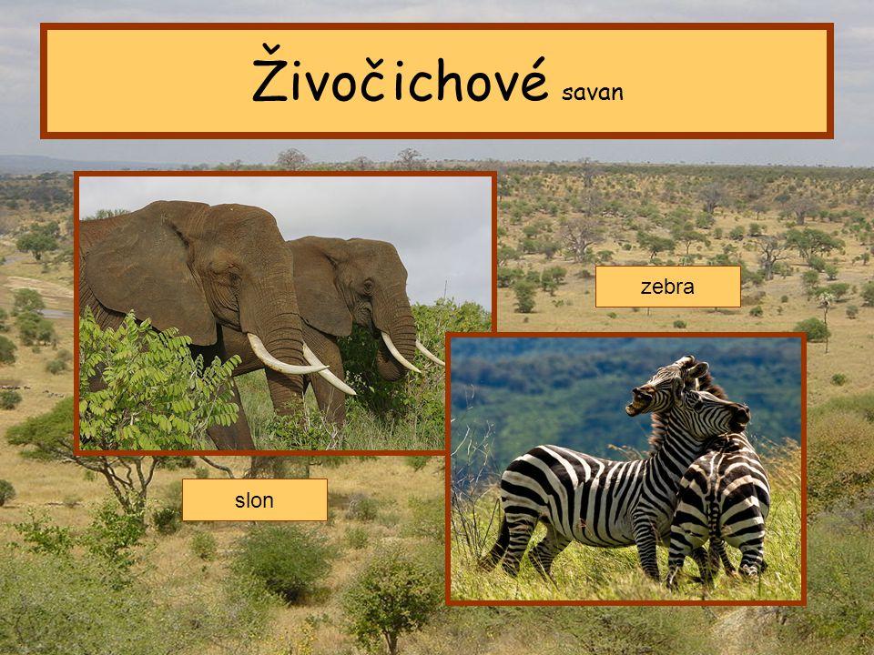 Tropický pás Živočichové savan slon zebra