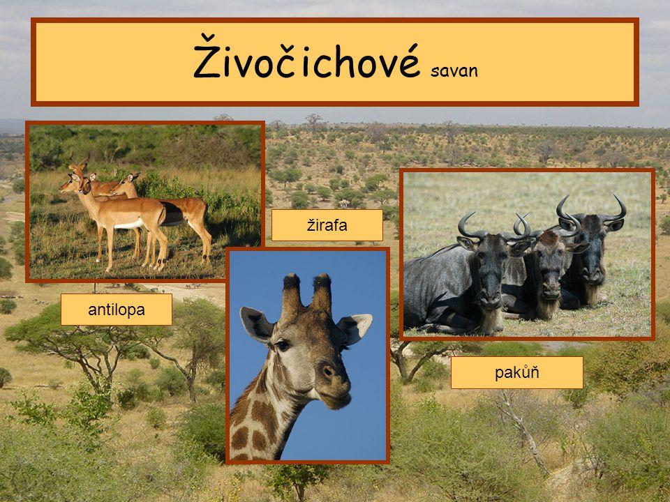 Tropický pás Živočichové savan antilopa žirafa pakůň