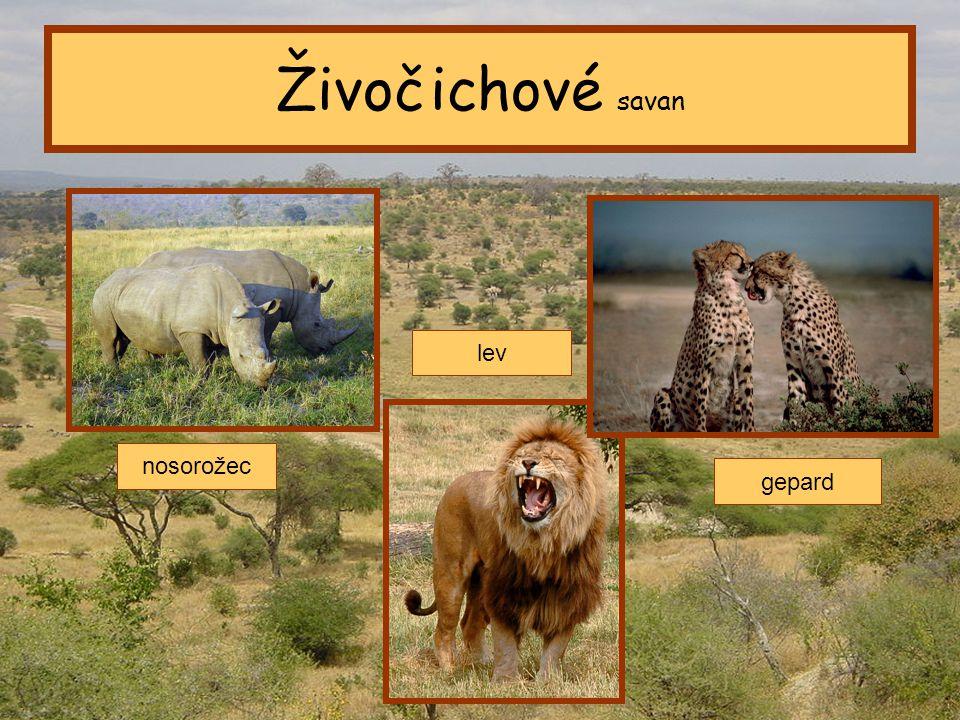 Tropický pás Živočichové savan nosorožec lev gepard