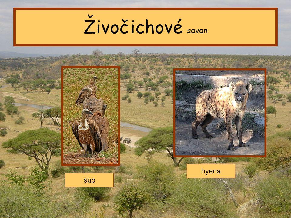Tropický pás Živočichové savan sup hyena