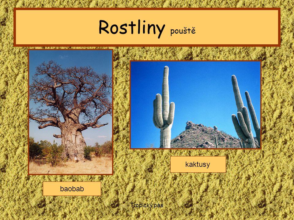 Tropický pás Rostliny pouště baobab kaktusy