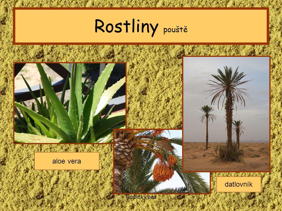 Tropický pás Rostliny pouště aloe vera datlovník