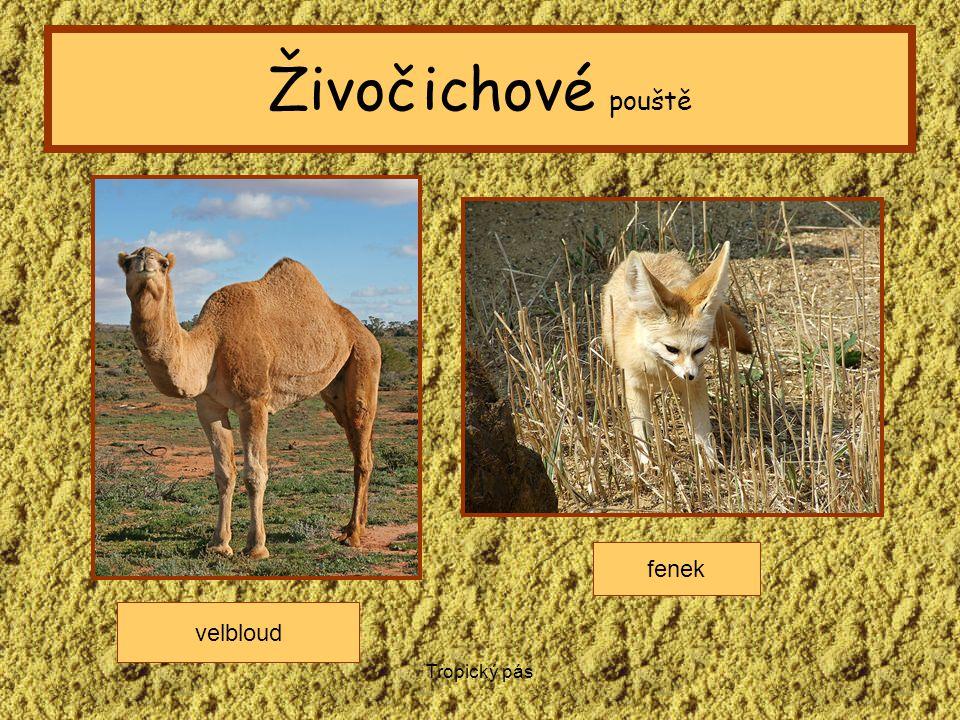 Tropický pás Živočichové pouště velbloud fenek