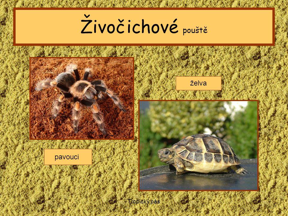 Tropický pás Živočichové pouště pavouci želva