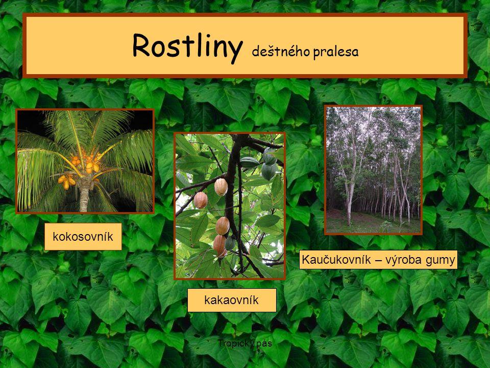 Tropický pás Rostliny deštného pralesa kokosovník Kaučukovník – výroba gumy kakaovník