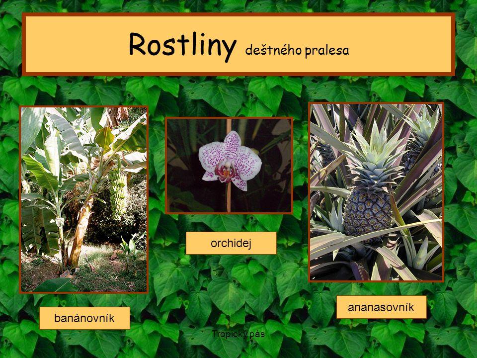 Tropický pás Rostliny deštného pralesa banánovník ananasovník orchidej
