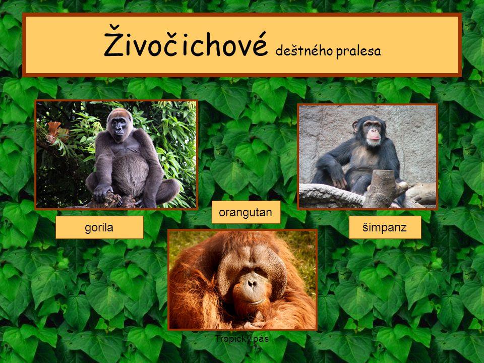 Tropický pás Živočichové deštného pralesa gorila orangutan šimpanz