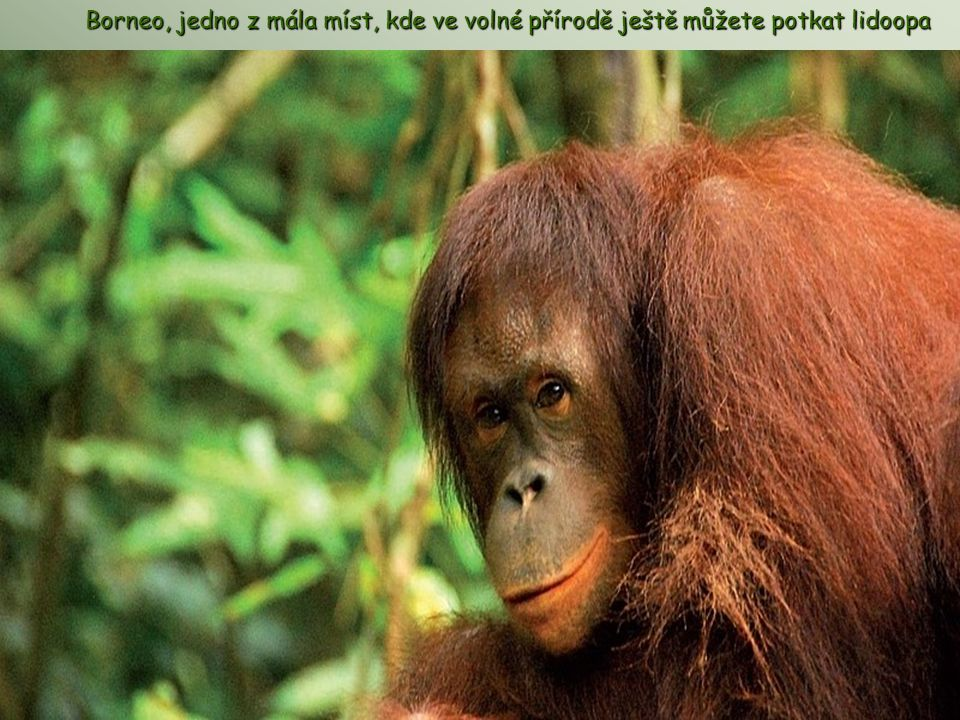 Borneo, jedno z mála míst, kde ve volné přírodě ještě můžete potkat lidoopa