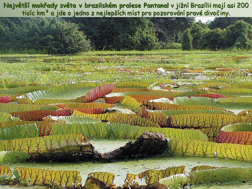 Největší mokřady světa v brazilském pralese Pantanal v jižní Brazílii mají asi 200 tisíc km² a jde o jedno z nejlepších míst pro pozorování pravé divočiny.