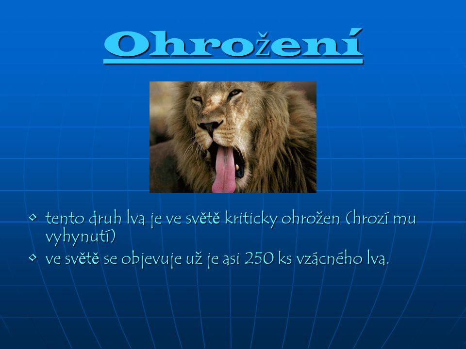 Ohro ž ení tento druh lva je ve sv ě t ě kriticky ohrožen (hrozí mu vyhynutí) tento druh lva je ve sv ě t ě kriticky ohrožen (hrozí mu vyhynutí) ve sv ě t ě se objevuje už je asi 250 ks vzácného lva.