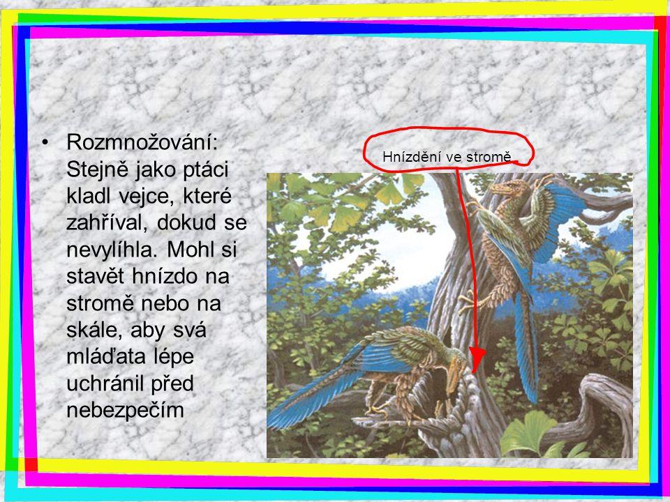 Hnízdění ve stromě Rozmnožování: Stejně jako ptáci kladl vejce, které zahříval, dokud se nevylíhla. Mohl si stavět hnízdo na stromě nebo na skále, aby