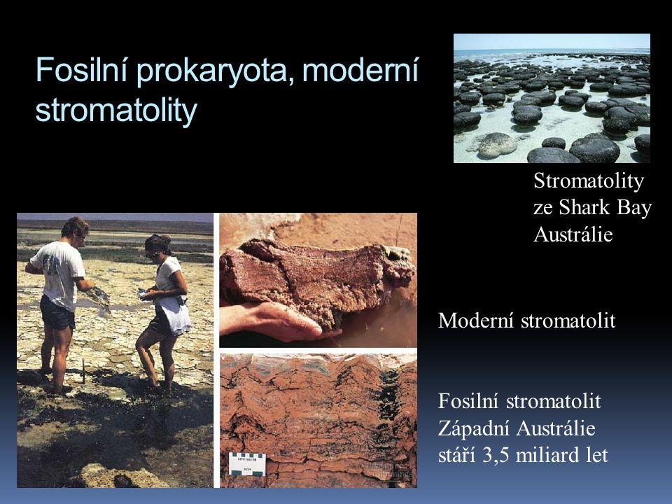Fosilní prokaryota, moderní stromatolity Moderní stromatolit Fosilní stromatolit Západní Austrálie stáří 3,5 miliard let Stromatolity ze Shark Bay Aus