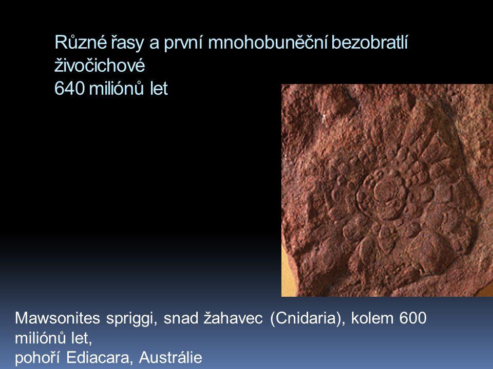 Různé řasy a první mnohobuněční bezobratlí živočichové 640 miliónů let Mawsonites spriggi, snad žahavec (Cnidaria), kolem 600 miliónů let, pohoří Edia