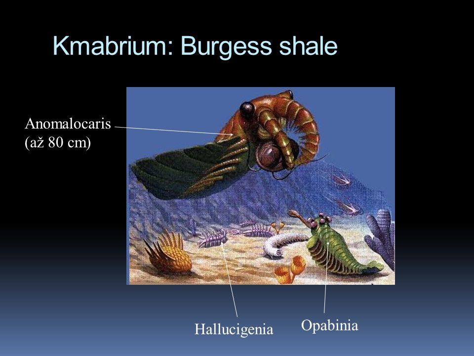 Kmabrium: Burgess shale Anomalocaris (až 80 cm) Hallucigenia Opabinia