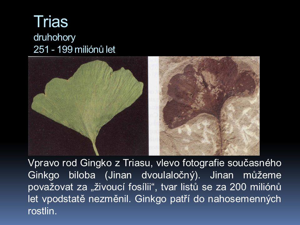 Trias druhohory 251 - 199 miliónů let Vpravo rod Gingko z Triasu, vlevo fotografie současného Ginkgo biloba (Jinan dvoulaločný). Jinan můžeme považova