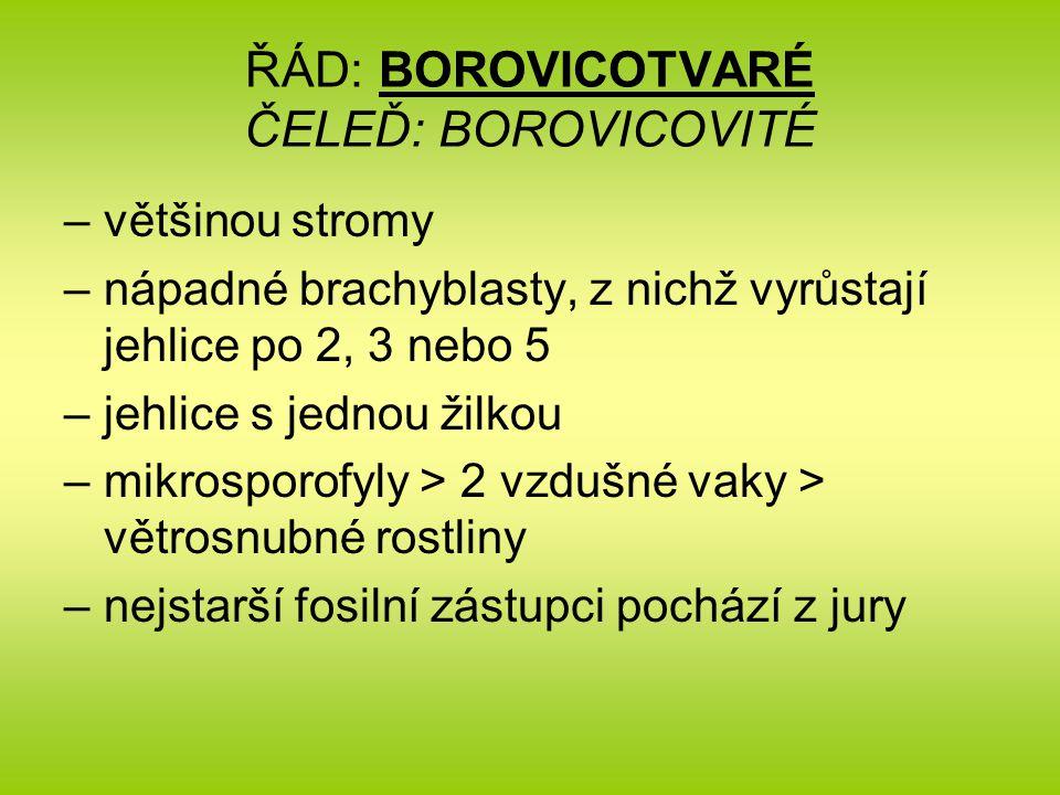ŘÁD: BOROVICOTVARÉ ČELEĎ: BOROVICOVITÉ –většinou stromy –nápadné brachyblasty, z nichž vyrůstají jehlice po 2, 3 nebo 5 –jehlice s jednou žilkou –mikr