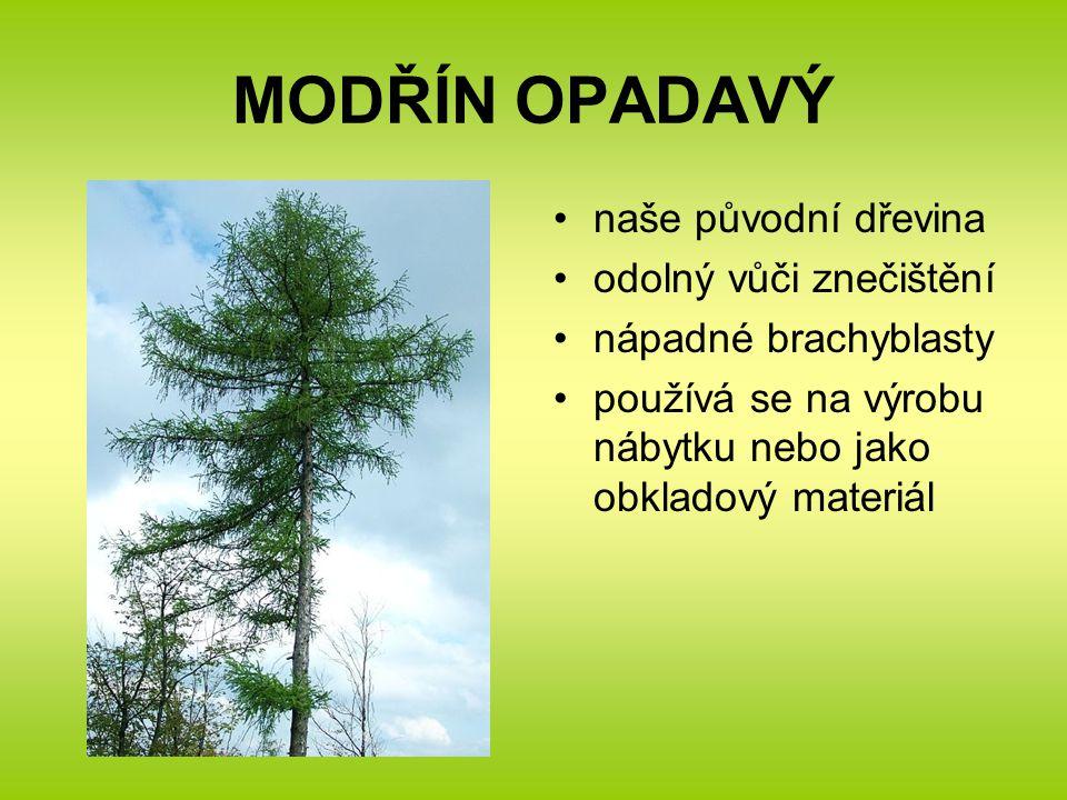 MODŘÍN OPADAVÝ naše původní dřevina odolný vůči znečištění nápadné brachyblasty používá se na výrobu nábytku nebo jako obkladový materiál