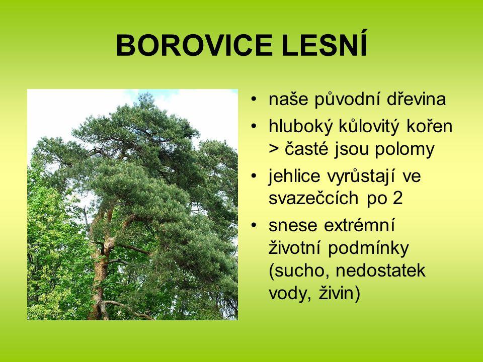 BOROVICE LESNÍ naše původní dřevina hluboký kůlovitý kořen > časté jsou polomy jehlice vyrůstají ve svazečcích po 2 snese extrémní životní podmínky (sucho, nedostatek vody, živin)