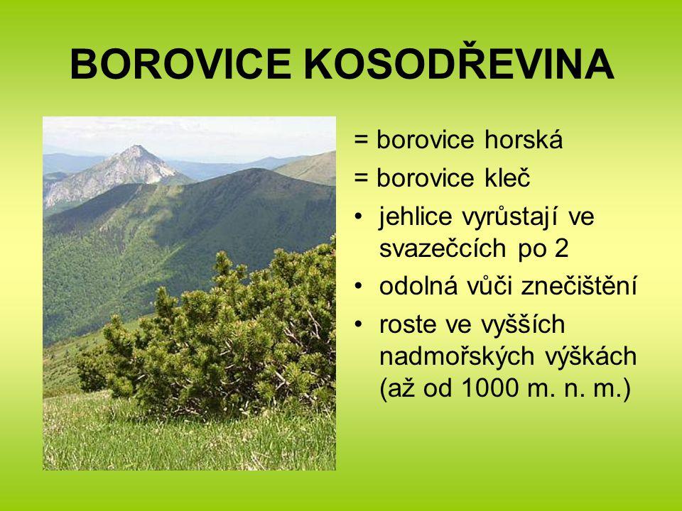 BOROVICE KOSODŘEVINA = borovice horská = borovice kleč jehlice vyrůstají ve svazečcích po 2 odolná vůči znečištění roste ve vyšších nadmořských výškách (až od 1000 m.